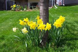 dafs at base of tree